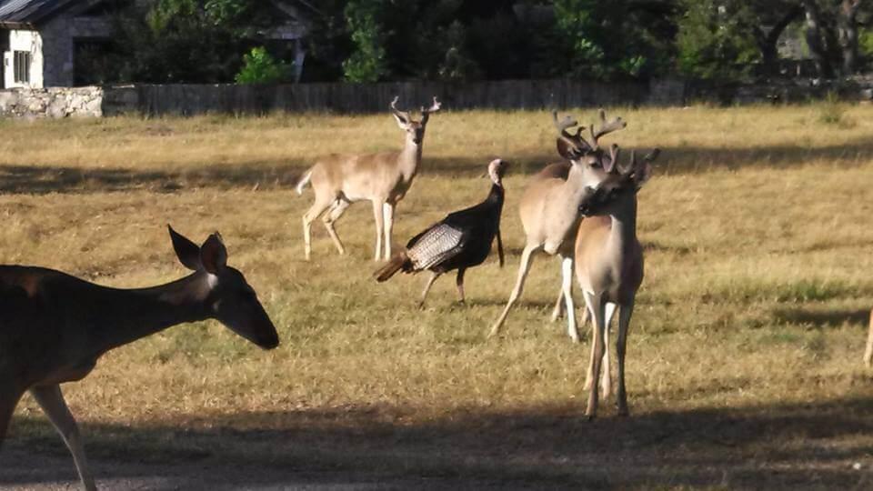Wild Turkey at Enchanted Springs Ranch
