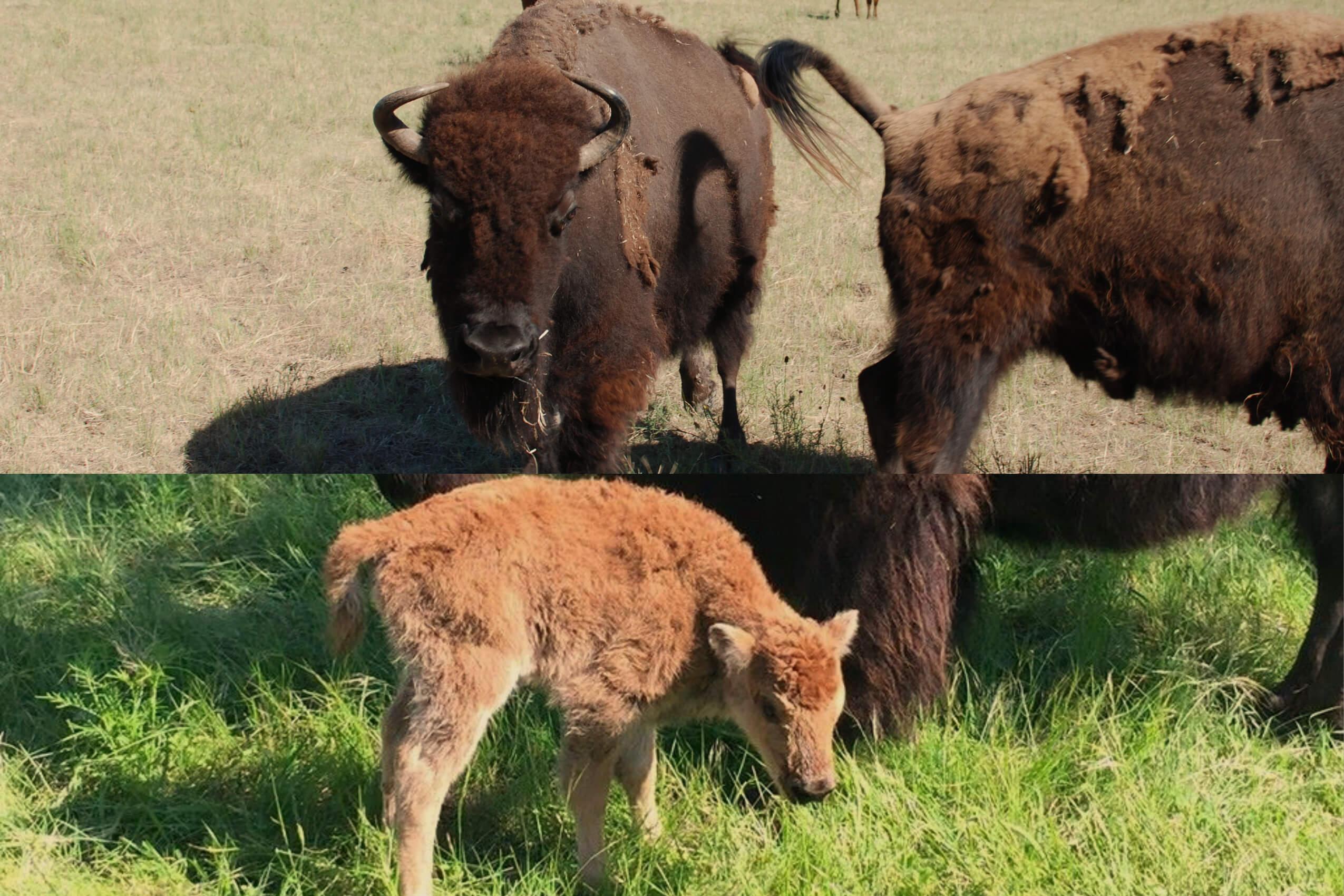 Buffalo at Enchanted Springs Ranch